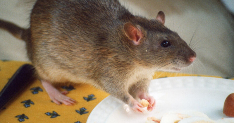 Rodents Pest Control