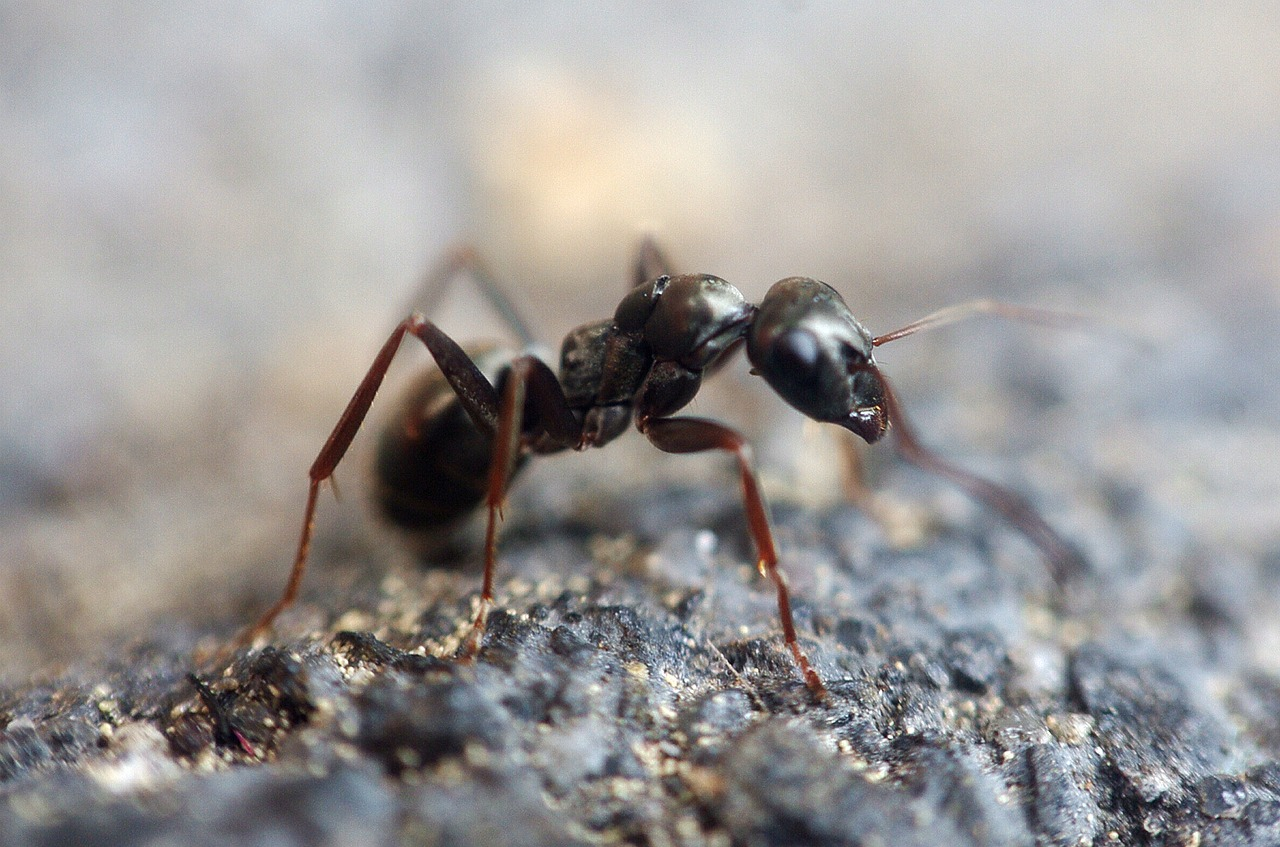 The IKARI Method to Ant Control – Effective and Eco-friendly IPM System
